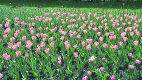 Beautiful spring park covered by fresh flowers pink tulips. Full hd video, 1080p stock video
