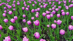 Beautiful spring park covered by fresh flowers purple tulips. Full hd video, 1080p, Panoramic view stock video footage