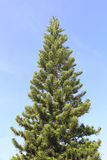 Beautiful spring pine tree on blue sky Royalty Free Stock Image