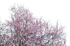 Beautiful spring pink blossom flower isolated on white Stock Image