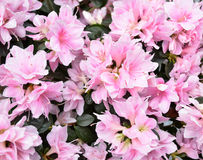 Beautiful spring pink flowers Royalty Free Stock Photo