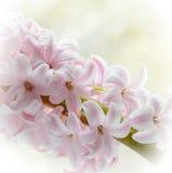 Beautiful spring pink hyacinth flower macro Stock Photos
