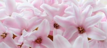 Beautiful spring pink hyacinth flower macro Royalty Free Stock Photos