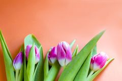 beautiful spring pink tulips on an orange background. Spring fragrance. royalty free stock photos