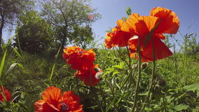 Beautiful spring poppy blossoms and wind. 4K stock video footage