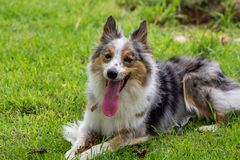 Beautiful spring portrait of adorable Gray and white border collie in the blossoming park stock photos