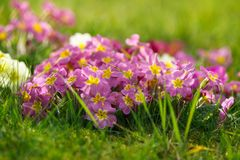 Beautiful spring primroses flowers, primula polyanthus or Perennial primrose. with green leaves in the garden. Nature concept.  stock photo