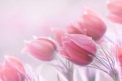 Beautiful spring pulsatillas royalty free stock photo