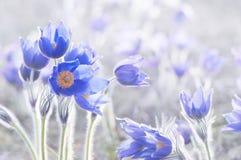 Beautiful spring pulsatillas royalty free stock image