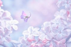 Beautiful spring purple lilac flowers blossom branch background with butterfly in sun light, macro. Soft focus nature background.