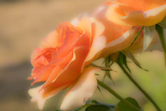 Beautiful Spring Rose Stock Photography