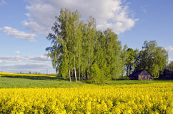 Spring rural landscape with blossoming rapes Stock Photo
