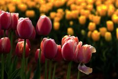 Beautiful spring scenery attraction tulips in bloom. 