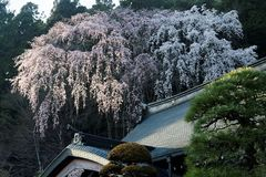 Beautiful spring scenery of weeping cherry trees with vibrant blossoms over the roof of a traditional Japanese architecture. In Kuon-ji, a famous Buddhist stock photography