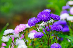 Beautiful spring flowers. Beautiful spring season flowers in garden Stock Images