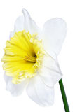 Beautiful spring single flower: white  narcissus (Daffodil) Stock Photos