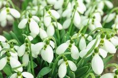 Beautiful spring snowdrop flowers Galanthus nivalis stock photos