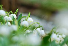 Beautiful Spring Snowflakes flowers Royalty Free Stock Image
