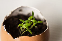 Beautiful spring sprouts growing in a brown Easter egg shell. On light background Royalty Free Stock Image