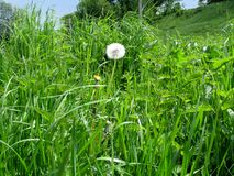White air dandelion with parachutes in a meadow among nettle stock image