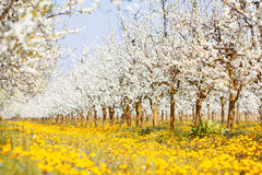 Beautiful spring and summer yellow dandelion field with white bl Royalty Free Stock Image