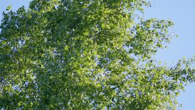 Beautiful spring sun shine through birch tree green leaves. Rays of the sun shine through the birch tree green leaves.
