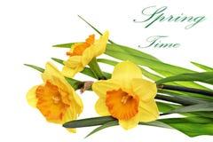 Beautiful spring  three flowers : orange narcissus (Daffodil) Stock Image