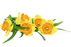 Beautiful spring  three flowers : yellow narcissus (Daffodil) Stock Photos