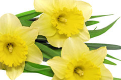 Beautiful spring  three flowers : yellow narcissus (Daffodil) Stock Images