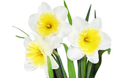 Beautiful spring  three flowers : yellow-white narcissus Royalty Free Stock Images