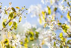 Beautiful spring time sunny day garden landscape. Blossoming white petals fruit tree branch, tender blurred blue green stock images