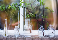 Beautiful spring tree branches in glass bottles on window. Royalty Free Stock Photography