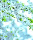 Beautiful spring tree flowers Stock Photo