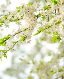 Beautiful spring tree flowers Stock Image