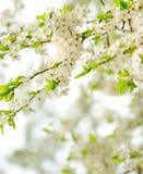 Beautiful spring tree flowers Stock Image