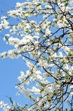 Beautiful spring tree flowers Royalty Free Stock Images