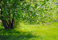 Beautiful spring tree with fresh green leaves and white flowers Royalty Free Stock Photos