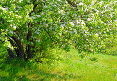 Beautiful spring tree with fresh green leaves and white flowers Stock Photography
