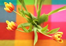 Beautiful spring tulip on a colored background. Yellow and red flowers Royalty Free Stock Photos