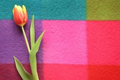 Beautiful spring tulip on a colored background. Yellow and red flowers Stock Photo