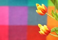 Beautiful spring tulip on a colored background. Yellow and red flowers Stock Photography