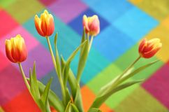 Beautiful spring tulip on a colored background. Yellow and red flowers Royalty Free Stock Image