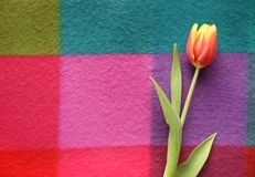 Beautiful spring tulip on a colored background. Yellow and red flowers Royalty Free Stock Photo