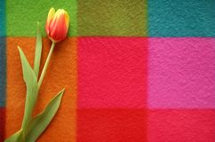 Beautiful spring tulip on a colored background. Yellow and red flowers Stock Image