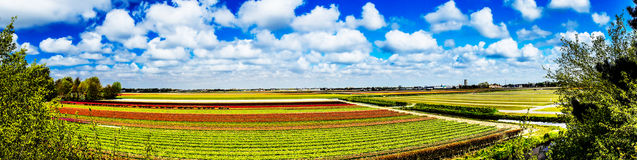 Beautiful spring tulip fields in the Netherlands. Royalty Free Stock Photography