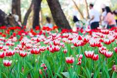 Beautiful Spring tulip flowers with blurry people background. In garden. Chiang Rai Asian flower festival Thailand 2015 Stock Photography