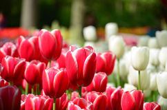 Beautiful spring tulip flowers in Keukenhof park in Netherlands (Holland) Royalty Free Stock Image