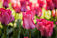 Beautiful spring tulip garden Stock Photos
