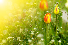 Free Beautiful Spring Tulip In The Sun Royalty Free Stock Photo - 40162075