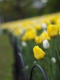 Beautiful spring tulips Stock Photo